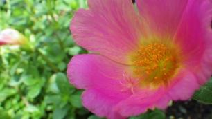 Pink Purslane Wide