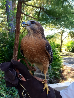 Red-shouldered Hawk on the trainer's arm